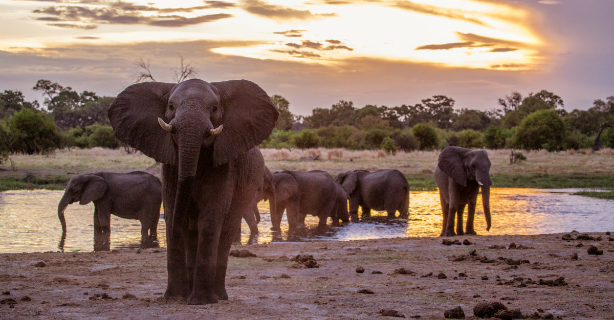 La politique stricte du Botswana contre la chasse fait du pays un sanctuaire pour les éléphants.