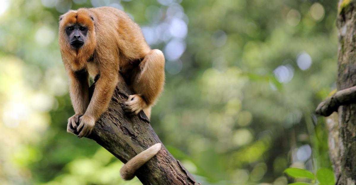 Les singes hurleurs ont commencé à mourir dans la forêt tropicale; c'était un signe que la fièvre jaune qui se propageait.