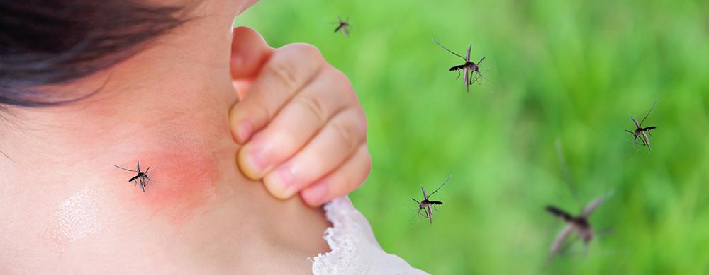 Mosco del dengue evoluciona y se vuelve resistente al frío